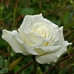 rose thumb Mending: New and Selected Stories